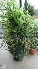 zigzag plant devils backbone Pedilanthus tithymaloides succulent 10 x cuttings