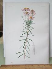 Vintage Print,SAND PAPER STAR WORT,Flowers+Ferns,1880,Prang