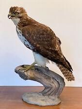 ROTSCHWANZBUSSARD Tierpräparat Präparat Taxidermy ausgestopft Hawk VMG/Cites