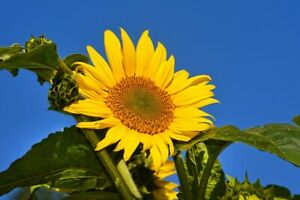 Sunflower Seeds Tall Growing Large Heads Helianthus annulus Planting x 5 Seeds