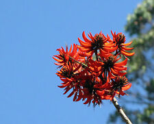 Erythrina stricta CORAL TREE Seeds! EXOTIC!