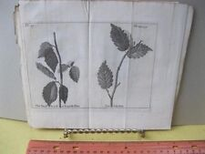 Vintage Print,SMALL LEAVED ELM,Discourses Natural History,Humphrey,Tree