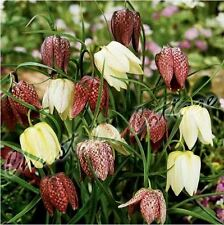 6 FRITILLARIA MELEAGRIS SNAKE'S HEAD CHEQUER LILY BULB CORM AUTUMN GARDENING
