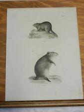 1842 Antique Natural History Print/BEAVER & MUSQUASH