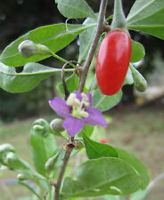 """GOJI BERRY ~Red~ """"Lyclum Barbarum""""~Loaded with Antioxidents~ 15+ Perennial Seeds"""