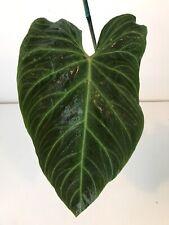 Xl Philodendron Verrucosum X Melanochrysum Hybrid Rare Aroid Monstera