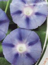 Morning Glory Blue Star Flower Seeds from Ukraine