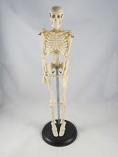 Anatomy Model Miniature Skeleton 42 Cm 17 It 005 Artmed