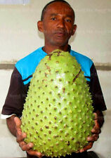 Fruit seeds 5pcs Giant Graviola Soursop Guanabana Annona Muricata Tropical