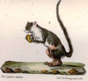 Buffon Hand-Colored Eng. -1833- 2 MALABAR SQUIRRELS