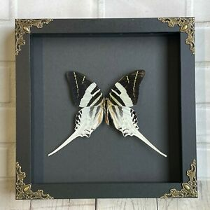 Giant Swordtail Butterfly (Graphium androcles) Swallowtail Baroque Display Frame