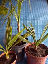 lot de 3 palmiers