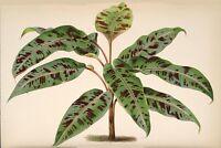 ist wunderschön und hat Blätter, die bis zu drei Meter lang sind: die Wildbanane