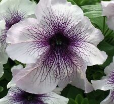 50 Pelleted Prism Blackberry Sundae Petunia Seeds