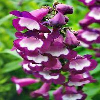 PENSTEMON SENSATION SEED MIXED COLOURS LONG FLOWERING HARDY POT GARDEN 350 SEEDS