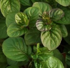 ORANGE MINT Mentha herb plant in 100mm pot