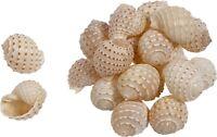 "18 Maculated Tun (Tonna Tesselata) Shells 2-2.5"" (Set of 18)"
