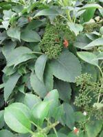 Hydrangea semiola - immergrüne Kletterhortensie (Gartenhortensie)