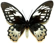 Ornithoptera aesacus female. Obi is. Indonesia. VERY RARE!