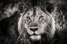 Framed Print - Lion Face Black & White with Orange Eye's (Picture Poster Animal)