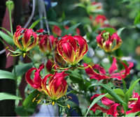 Rare Exotic Climbing Vine Flame Lily, Gloriosa superba Seeds Shipped From Canada
