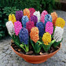 300pc Mixed Color Hyacinthus Orientalis Plant Seeds Home Garden Decor