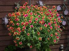 20 Perennial Purslane Grandiflora ROOTED Succulent Cuttings- Fairy Princess