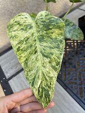 philodendron Giganteum Variegated 5� Pot - Usps Insured (A)