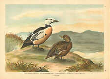 Ducks, Waterfowl, Coastal Birds, Vintage 1905 German Antique Art Print Plate #19