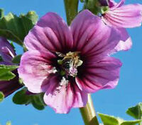 ROSE MALLOW, 25+ SEEDS, ORGANIC, BEAUTIFUL BRIGHT ROSE FLOWERS, FLOWER, GARDEN