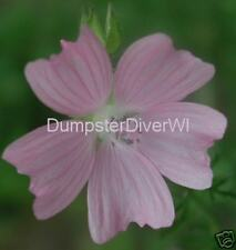 Pink Hollyhock Mallow  ( Malva Fastigiata) 40+seeds  Perennial Native Hardy