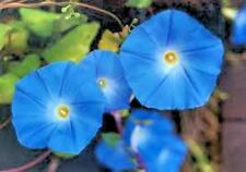 Morning Glory Ipomoea Heavenly Blue 10 seeds
