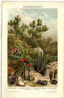 Lithografie: Euphorbiaceen Original 1895 Lithograph Phyllanthus Amperea, Kaktus