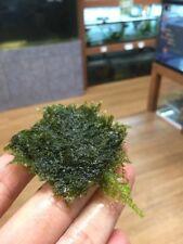 Phoenix Moss Pad, Fissidens Fontanus - Live Aquarium Plants, Aquascape Moss Mat