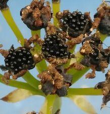 Venus Flytrap 25 Seeds Giant Cultivars Freshly Harvested June 2020