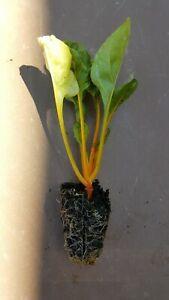 Swiss Chard 'Bright Lights'  - 10 Vegetable Plug Plants