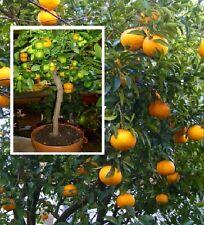 Amanatsu-Baum Japanischer Zitrus robute Pflanze Orangen für drinnen den Balkon