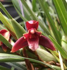 Maxillaria Memoria Ben Berliner Orchid Species Plant Fragrant Flowers