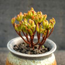 Succulent Live Plant -Aeonium x Loartei Tavormin 6cm - Garden Lovely Rare Plant