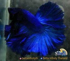 (Limited RARE!!) : Premium Live Betta Fish : Male Rosetail Intense Blue