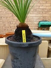 Plants Grass Trees  approx 10-15cm trunk hgt  $75- ea GREAT PRICE