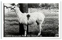 RPPC Seattle, WA, Llama at Woodland Park Zoo Real Photo Postcard