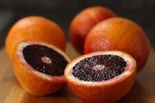 MORO BLOOD orange Tree Seeds / 10+ fresh seeds
