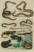 Zoolog. Darstellung v. Schlangen, Echsen u. Kröten, 19. Jhd., kol. Kupferst.