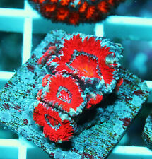 Beautiful Acan Lord Colony Zoanthids Paly Zoa Soft Coral Wysiwyg