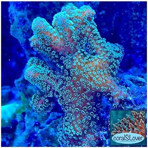 """live coral Neon Green Stylophora frags 1''1/2  """"coralSLover"""""""