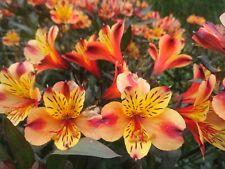 ALSTROEMERIA INDIAN SUMMER x1 JUMBO PLUG !!impressive high flower ..