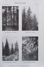 FICHTEN UND LÄRCHEN 1916 Botanik alter Druck antik antique print Litho Bäume