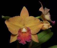 Orchid Plant Pot golden Circle x Mem jim Nickou