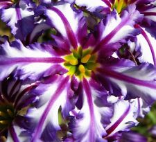 PURPLE FIRWORKS DAYLILY DAYLILIES RARE GORGEOUS US SELLER 5 SEEDS EXOTIC WoWoWoW